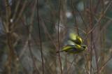 Dzwoniec,Chloris chloris,Greenfinch