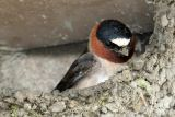 Nesting Cliff Swallows - Masters With Mud