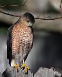 Cooper's Hawk_3