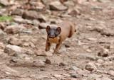 Andean Weasel