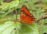 Butterfly Bellavista