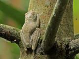 Frog Palenque