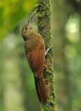Northern Barred-Woodcreeper