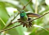 Purple-chested Hummingbird