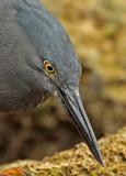 Galapgos Shorebirds