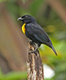 Golden-chested Tanager