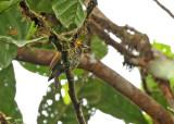 Lita Woodpecker
