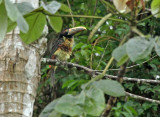 Pale-mandibled x Stripe-billed Aracari