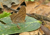 Butterfly-Sani