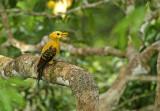 Cream-coloured Woodpecker