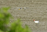 Large-billed- and Caspian Terns
