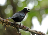 White-capped Tanager
