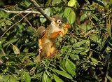 Squirrel-Monkey.jpg
