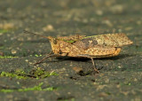 Grashopper-NWC.jpg