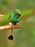 Booted Raquet-tail