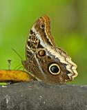 Butterfly-rio-Blanco.jpg