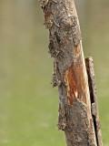 Long-nosed Bat