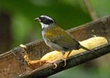 Orange-billed Sparrow