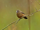 Chestnut-bellied Seedfinch