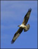 Ospreys_011.jpg