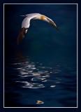 Gannet on Moonlight Return