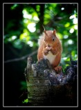 Red Squirrell on Tree Stump