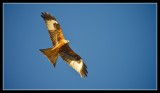 A Red Kite soars in the Spring sunshine