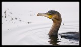 Hunting Cormorant at Linlithgow Loch