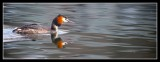 Great Crested Grebe on Linlithgow Loch