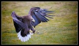 White Tailed Eagle Now Successfully Reintroduced in Scotland