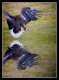 White Tailed Eagle Diving