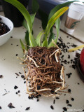 very root bound orchid