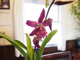 the orchid i bought beallara marfitch howards dream