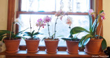 kitchen window orchids all in bloom