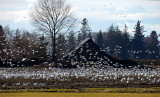 Snow Geese of Skagit County Washington