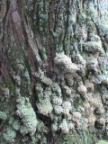 Texture of Japan - old tree with moss