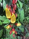 Huge pitcher plant,  Botanic Gardens