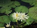 Waterlilies,  Wetland Boardwalk