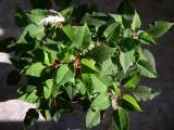 Poinsettia, St-Onésime-d'Ixworth
