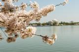 Jefferson Memorial in Cherry Blossom