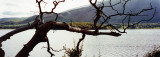 old tree  @ Bassenthwaite Lake