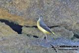 Grey Wagtail 6657.jpg