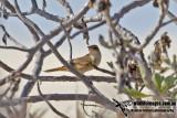Oriental Reed Warbler 2672.jpg