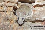 Arnhem Land Rock Rat