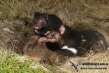 Tasmanian Devil 0048.jpg