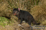Tasmanian Devil 0133.jpg