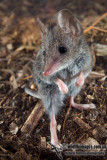 Antechinus, Dunnarts and others