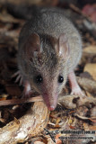 White-footed Dunnart 9926.jpg