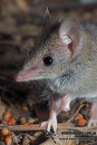 White-footed Dunnart 9935.jpg
