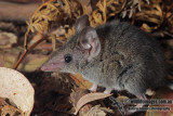 White-footed Dunnart 9947.jpg
